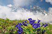 Enzian mit Bergkulisse in Wolken im Hintergrund, Giro di Monviso, Monte Viso, Monviso, Cottische Alpen, Piemont, Italien