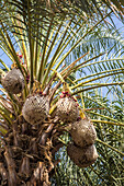 dates on palm tree in Bam, Iran, Asia