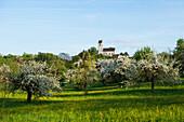 Flowering orchard meadow, church Roggenbeuren, Deggenhausertal, Lake Constance, Baden-Württemberg, Germany
