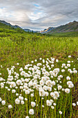 cotton grass near Hatcher pass, Alaska, USA