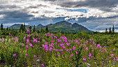fire weed at Denali Highway, Alaska, USA