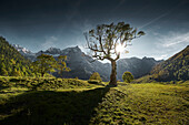 sycamore tree in green Valley,  Great sycamore Valley, Eng, Riss Valley, Tyrol, Austria