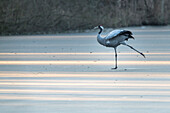 Kraniche stehen auf einem gefrorenen See in Deutschland zur blauen Stunde