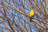 Bird 'Goldammer' in the sunlight of the rising sun