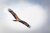 Rotmilan fliegt am Himmel zur blauen Stunde