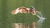 Red kite catches a fish out of the water
