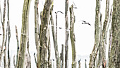 Black-headed gull colony in a wetland with dead trees