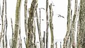 Lachmöwen Kolonie in einem Sumpfgebiet mit abgestorbenen Bäumen
