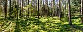 Light-flooded pine forest with ground-covering plants in the Spreewald