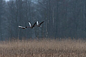 Greylag geese start over a reed field at dawn
