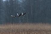 Graugänse starten über ein Schilfrohrfeld im Morgengrauen