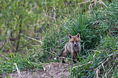 Young fox at the Burrow looks into the camera before sunrise