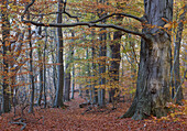 Autumn Beech Forest, island of Rügen island of Vilm, Germany Mecklenburg-Western Pomerania