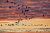 Autumn migration of cranes in the Vorpommersche Boddenlandschaft National Park, Mecklenburg-Western Pomerania, Germany