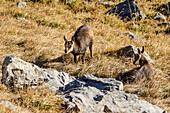 Zwei junge Gämsen, Lamsenspitze, Naturpark Karwendel, Karwendel, Tirol, Österreich