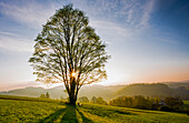 Solitary tree in the sunrise, Frankenwald Nature Park, Upper Franconia, Bavaria, Germany