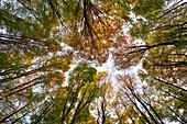 beech forest in autumn, frog's eye view, Schauinsland, near Freiburg im Breisgau, Black Forest, Baden-Württemberg, Germany