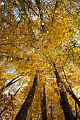 beech forest in autumn, frog's eye view, near Überlingen, lake constance, Baden-Württemberg, Germany