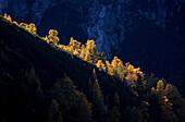 Beleuchtete Lärchen auf einem Bergrücken im Karwendel, Tirol, Österreich