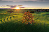 Oaktree with autumn leaves on a hill, Hoehenberg, Muensing, bavaria, germany
