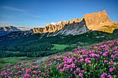 Blühende Alpenrosen vor Monte Cristallo, Croda di Lago und Monte Formin, Dolomiten, UNESCO Welterbe Dolomiten, Venetien, Venezien, Italien