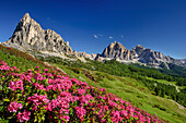 Alpine roses in blossom in front of Gusela and Tofana, Dolomites, UNESCO World Heritage Site Dolomites, Venetia, Italy