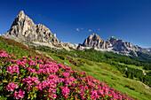 Blühende Alpenrosen vor Gusela und Tofana, Dolomiten, UNESCO Welterbe Dolomiten, Venetien, Venezien, Italien