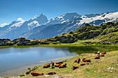 Lake with cattle in front of glacier mountains, view towards Ecrins, lake Lac Lérié, Plateau d' Emparis, National Park Ecrins, Dauphine, Dauphiné, Hautes Alpes, France