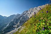 Blumenwiese am Hohen Göll, Schustersteig, Hoher Göll, Berchtesgadener Alpen, Oberbayern, Bayern, Deutschland