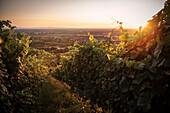 Wein Anbaugebiet bei YBurg, Neuweier, Baden-Baden, Baden-Württemberg, Deutschland