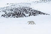 Polar bear in Billefjorden, Western Spitsbergen, Svalbard.