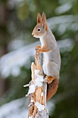 Red Squirrel ( Sciurus vulgaris ) climbing high up on a tree, watching, looks funny, in winter, wildlife, Europe.