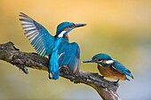 Territorial Common Kingfisher / Kingfisher (Alcedo atthis) male adult in struggle with its fledgling, wildlife, Europe.