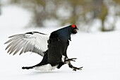 Black Grouse ( Lyrurus tetrix ), flying in, just before landing on snow covered ground, wildlife, Europe.