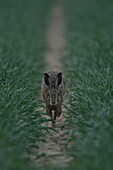 Brown Hare / European Hare ( Lepus europaeus ) running towards the photographer through a green field of winter wheat, at dawn, wildlife, Europe.