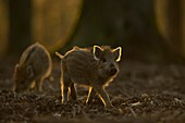 Wild Boar ( Sus scrofa ), little striped piglets, about two weeks old, exploring their surrounding, habitat, at dusk, nice backlight, Europe.