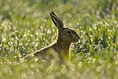 Brown Hare / European Hare ( Lepus europaeus ) sitting in a dew wet field of winter wheat, in first morning sunlight, backlight, wildlife, Europe.
