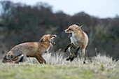 Red Foxes ( Vulpes vulpes ) in aggressive fight, fighting, threatening with wide open jaws, attacking each other, during rut, wildlife, Europe.