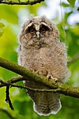 Funny young Long-eared Owl ( Asio otus ) looks with wide open eyes directly into the camera, wildlife, Europe.