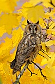 Long-eared Owl ( Asio otus ) perched in a maple tree, orange eyes wide open, surrounded by golden leaves, wildlife, Europe.