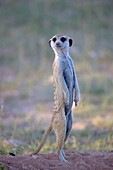 Suricate (Suricata suricatta), watching. Always alert to the possible attack of a predator. While watching the rest of the group is dedicated to hunt all kinds of insects, scorpions and small snakes. Kgalagadi Transfrontier Park, Kalahari desert, South Af