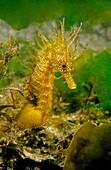 Sea Horse (Hippocampus guttulatus). Eastern Atlantic. Galicia. Spain. Europe.