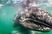 California gray whale calf, Eschrichtius robustus, underwater in San Ignacio Lagoon, Baja California Sur, Mexico.