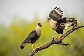 Crested Caracara (Caracara plancus) Mating adults, Santa Clara Ranch, Starr County, Texas, USA.