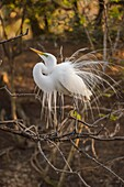 Great egret (Casmerodius albus, Ardea alba, Egretta alba) Courtship display, Smith Oaks Audubon Rookery, High Island, Texas, USA.