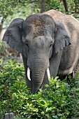 Asia, India, Uttarakhand, Jim Corbett National Park, Asian or Asiatic elephant (Elephas maximus). in the forest
