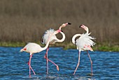 Greater Flamingo (Phoenicopterus roseus). A pair on the left quarrels with a solitary male. At the Laguna de Fuente de Piedra near the town of Antequera. This is the largest natural lake in Andalusia and Europe's only inland breeding ground for this speci