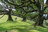 Couple walking under Laurel trees in the Laurisilva Forest, UNESCO World Heritage Site. Fanal, Porto Moniz municipality, Madeira region, Portugal.