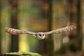 Barn Owl / Schleiereule (Tyto alba) in flight through an autumnal colored open forest.