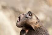 Africa, Ethiopia, Rift Valley, Debre Libanos, Gelada or Gelada baboon (Theropithecus gelada), dominant male, Yawning